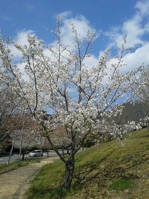 今日はお花見!_e0171669_15545211.jpg