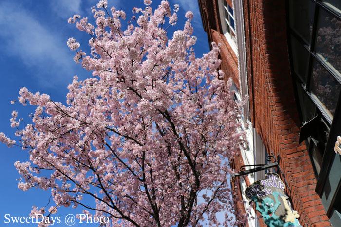 カナダで桜満開!Spring is here in Canada_e0046675_08391997.jpg