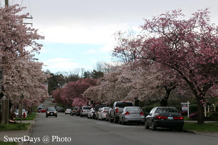 カナダで桜満開!Spring is here in Canada_e0046675_08394540.jpg