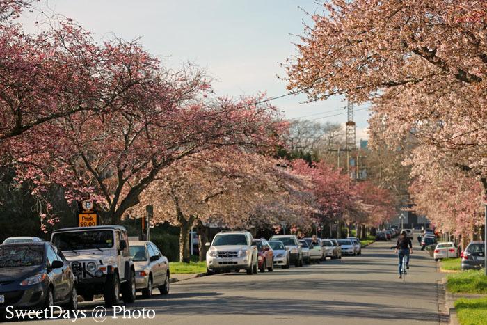 カナダで桜満開!Spring is here in Canada_e0046675_08395986.jpg