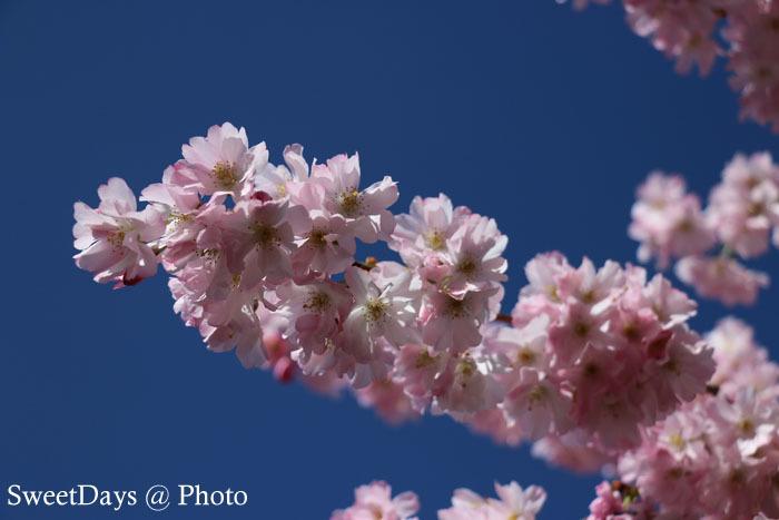 カナダで桜満開!Spring is here in Canada_e0046675_08400560.jpg