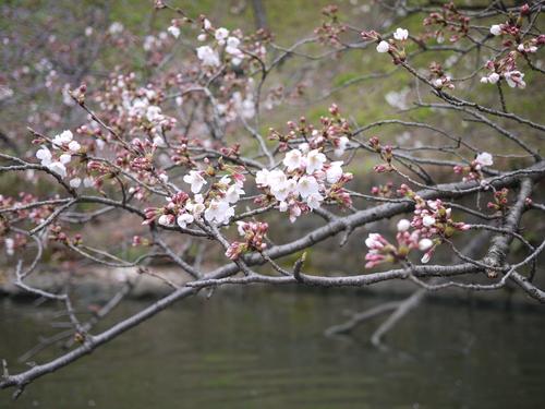 千鳥ヶ淵の桜が咲きました_f0071912_1344417.jpg