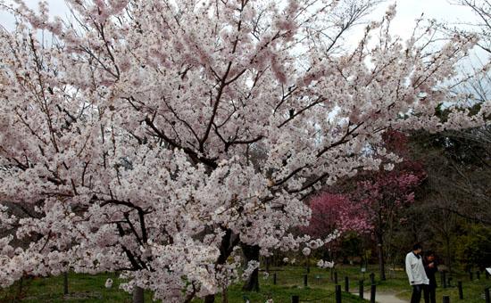 2016さくら便り 9植物園_e0048413_2101892.jpg