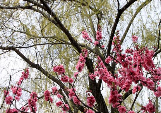 2016さくら便り 9植物園_e0048413_2103082.jpg
