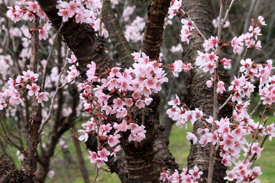 2016さくら便り 9植物園_e0048413_2104230.jpg