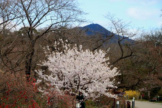2016さくら便り 9植物園_e0048413_210566.jpg