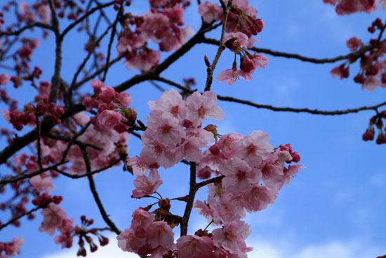 2016さくら便り 9植物園_e0048413_211367.jpg