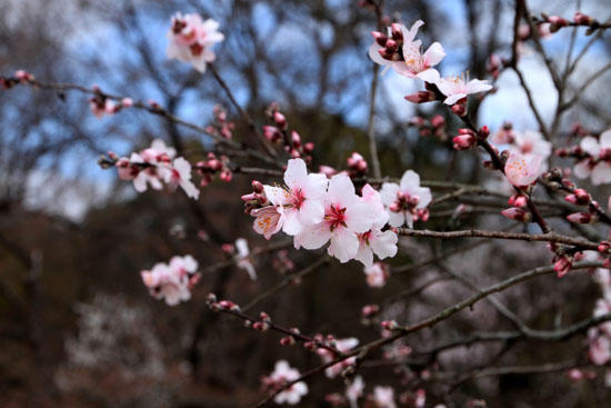 2016さくら便り 9植物園_e0048413_2113833.jpg