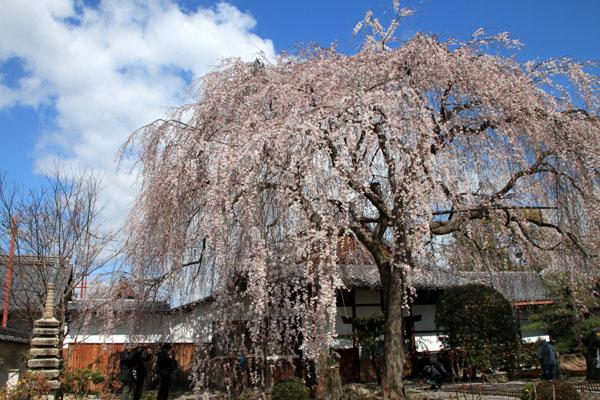 2016桜だより10 本満寺のしだれ_e0048413_21313541.jpg