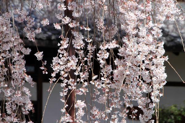 2016桜だより10 本満寺のしだれ_e0048413_213215100.jpg