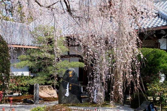 2016桜だより10 本満寺のしだれ_e0048413_21322790.jpg
