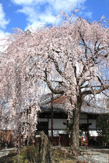 2016桜だより10 本満寺のしだれ_e0048413_21323873.jpg