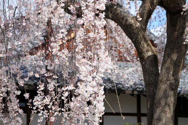 2016桜だより10 本満寺のしだれ_e0048413_2132425.jpg