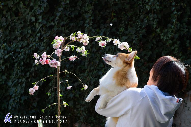 モモちゃんの花桃と_d0102523_22521358.jpg