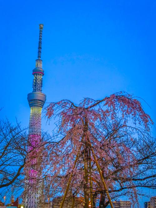 2016.3.26東京スカイツリーと桜(隅田公園)_e0321032_2182716.jpg