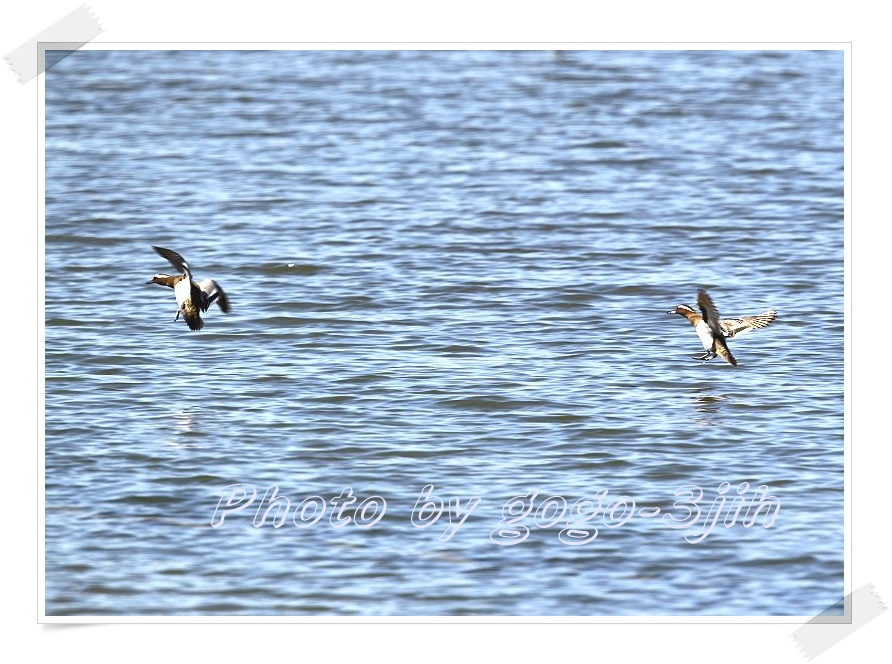 シマアジは、旅鳥として春、秋に飛来_b0346933_12284579.jpg