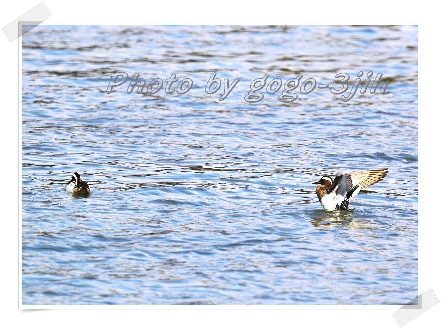 シマアジは、旅鳥として春、秋に飛来_b0346933_12285332.jpg