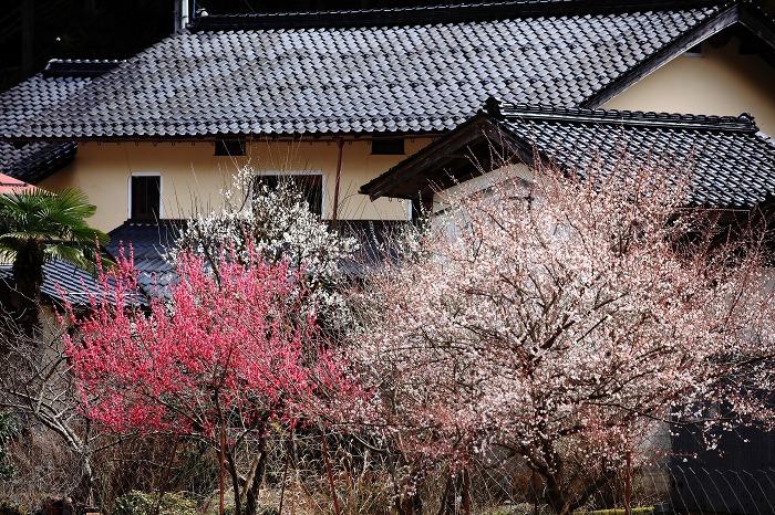 養蚕農家に梅が咲き_a0294534_20212289.jpg