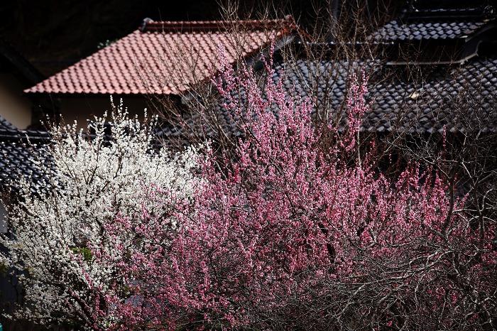 養蚕農家に梅が咲き_a0294534_20214323.jpg