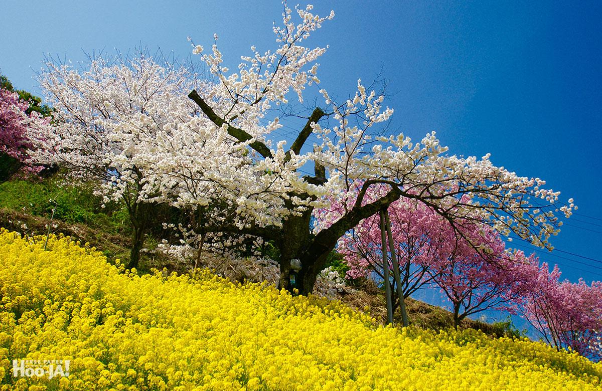 桜の下で逢いましょう_c0136239_112288.jpg