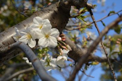 12回目のちょこっと桜(11歳だけどね)_b0307951_1728252.jpg