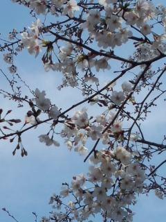 北沢川緑道の桜_f0112873_23454517.jpg