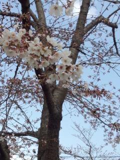 北沢川緑道の桜_f0112873_23501239.jpg
