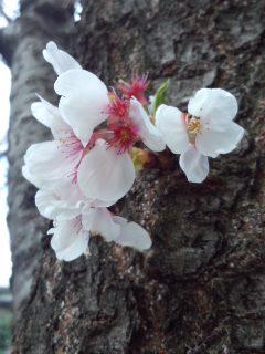 北沢川緑道の桜_f0112873_23505279.jpg