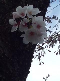 北沢川緑道の桜_f0112873_23511244.jpg