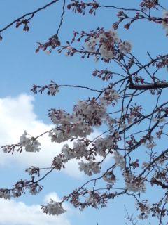北沢川緑道の桜_f0112873_23532267.jpg