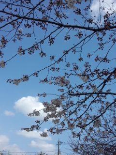 北沢川緑道の桜_f0112873_2353347.jpg