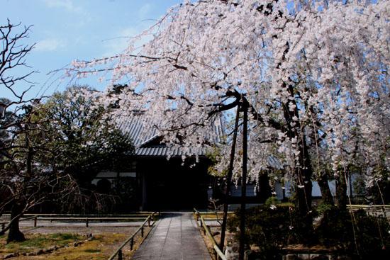 2016桜だより11上品蓮台寺_e0048413_20512011.jpg