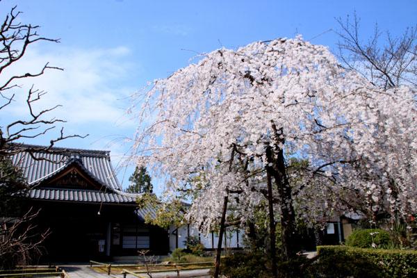 2016桜だより11上品蓮台寺_e0048413_20513459.jpg