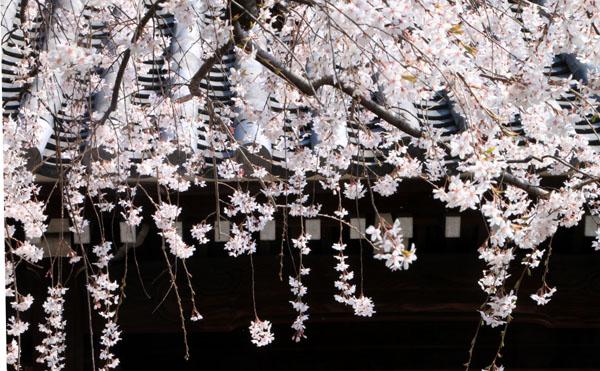 2016桜だより11上品蓮台寺_e0048413_20515787.jpg