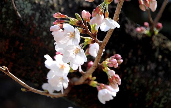 2016桜だより11上品蓮台寺_e0048413_20521953.jpg