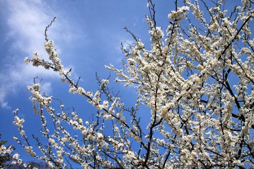 2016桜だより11上品蓮台寺_e0048413_2052820.jpg