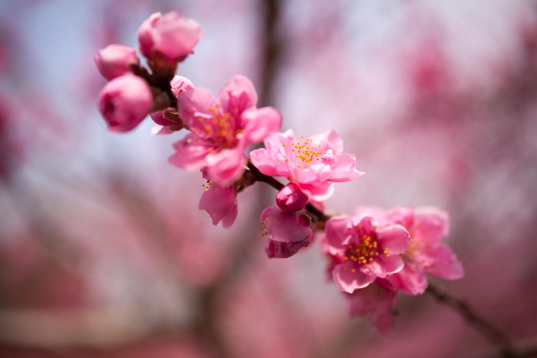 花桃の香り_c0369219_15202492.jpg