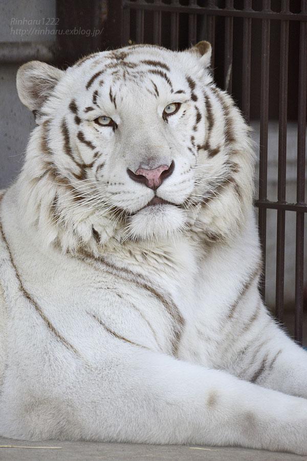 2016.3.27 宇都宮動物園☆ホワイトタイガーのアース【White tiger】_f0250322_2115480.jpg
