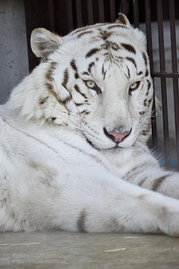 2016.3.27 宇都宮動物園☆ホワイトタイガーのアース【White tiger】_f0250322_2115717.jpg