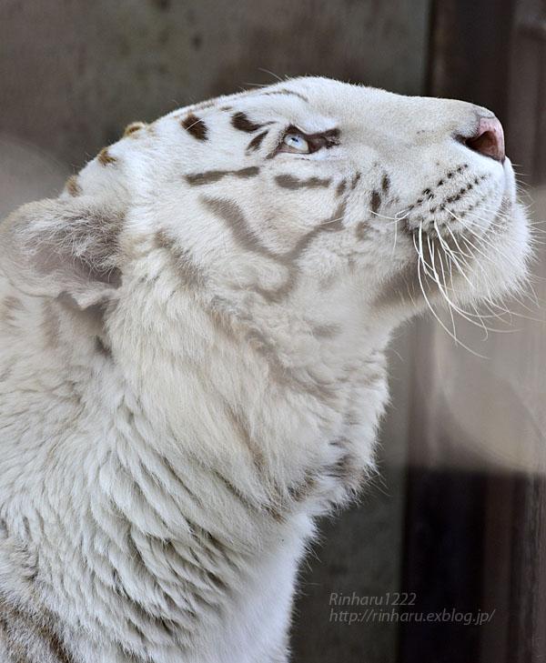 2016.3.27 宇都宮動物園☆ホワイトタイガーのアース【White tiger】_f0250322_2121615.jpg