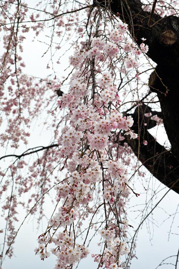 3月27日、街中の春を探して_c0223825_00440519.jpg