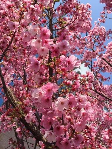 京都の桜、三味線におばんざい_a0103940_08080834.jpg