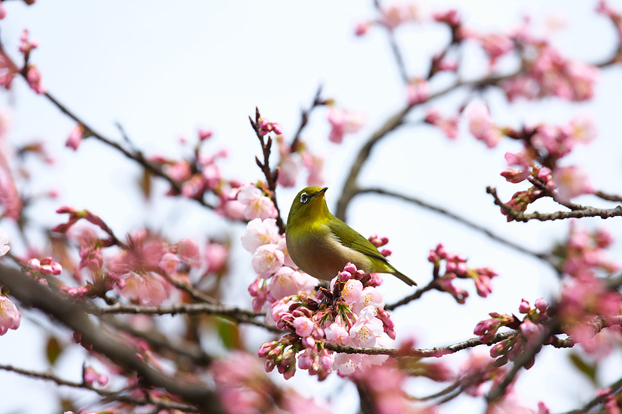 桜便り'16 #1_c0067040_21031604.jpg
