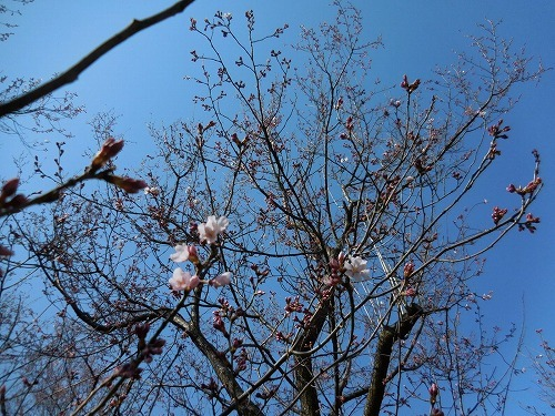 桜 ちらほら_c0327752_09380075.jpg