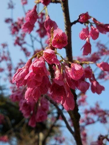桜 ちらほら_c0327752_10014951.jpg