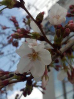 北沢川緑道の桜_f0112873_011627.jpg