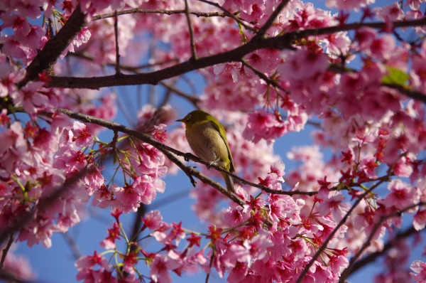 Spring has come, a bird has come_b0078188_21304278.jpg