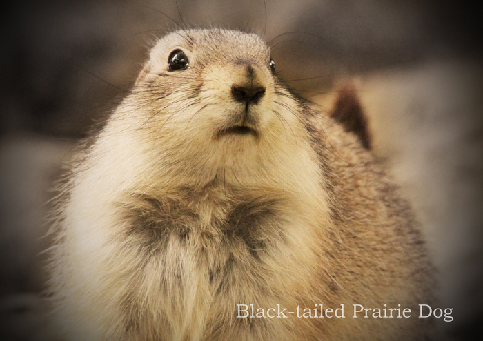 オグロプレーリードッグ:Black-tailed Prairie Dog _b0249597_5182215.jpg
