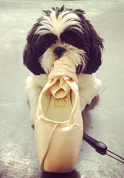 NYのバレエ団、ペットのワンちゃんと一緒にレッスン?! American Ballet Theatreの#dogsofabt_b0007805_7294769.jpg
