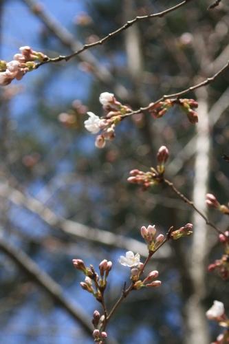 桜の季節_e0179508_10310850.jpg